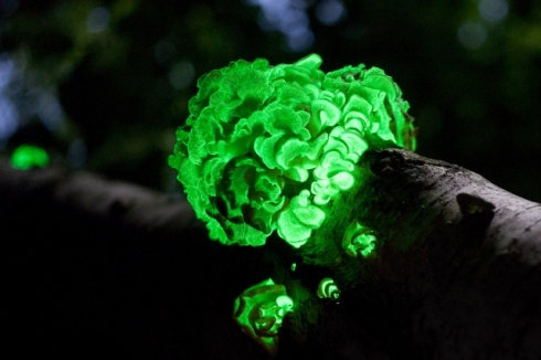 glow in the dark mushrooms 6